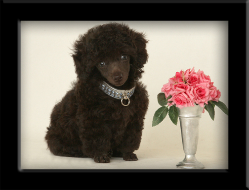 Chocolate brown toy poodle Sohie