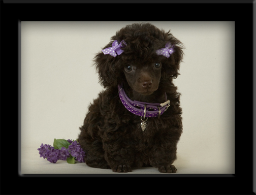Chocolate brown poodle Dallas