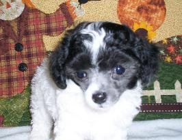 silver and white parti poodle