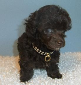 chocolate brown teacup poodle