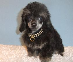 phantom teacup poodle