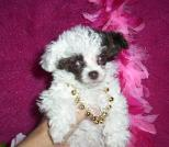 Chocolate and White Tiny Teacup Poodle