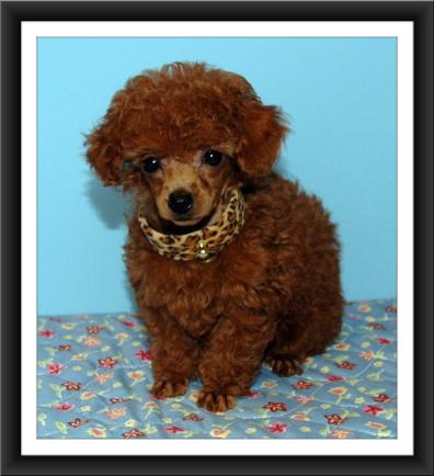 Our mahongony red toy poodle Scarlet