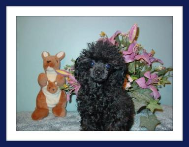 Black tiny teacup poodle
