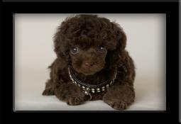 teacup poodle Jackson as a puppy