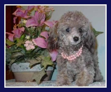silver teacup poodle for sale